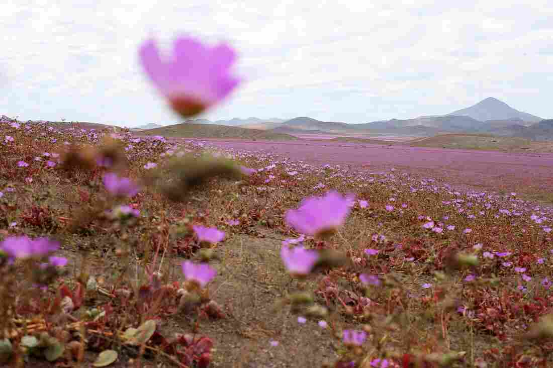 A view over a mallow field in the Atacama region in Chile on Oct. 21. This year's rainfall over the hostile land has led to the most spectacular blossoming of the past 18 years.