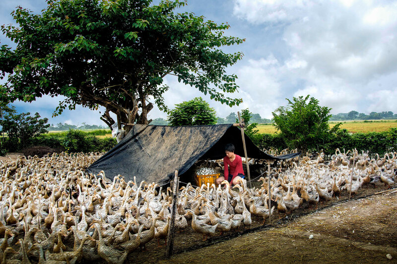 Duck breeding and egg harvesting are the main income for this family in Vietnam.