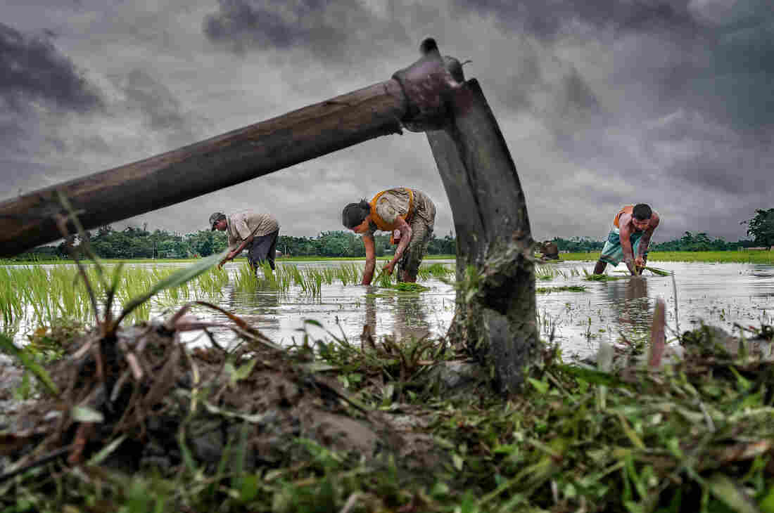 Grand prize: A family farms their paddy field during monsoon season in West Bengal, India.