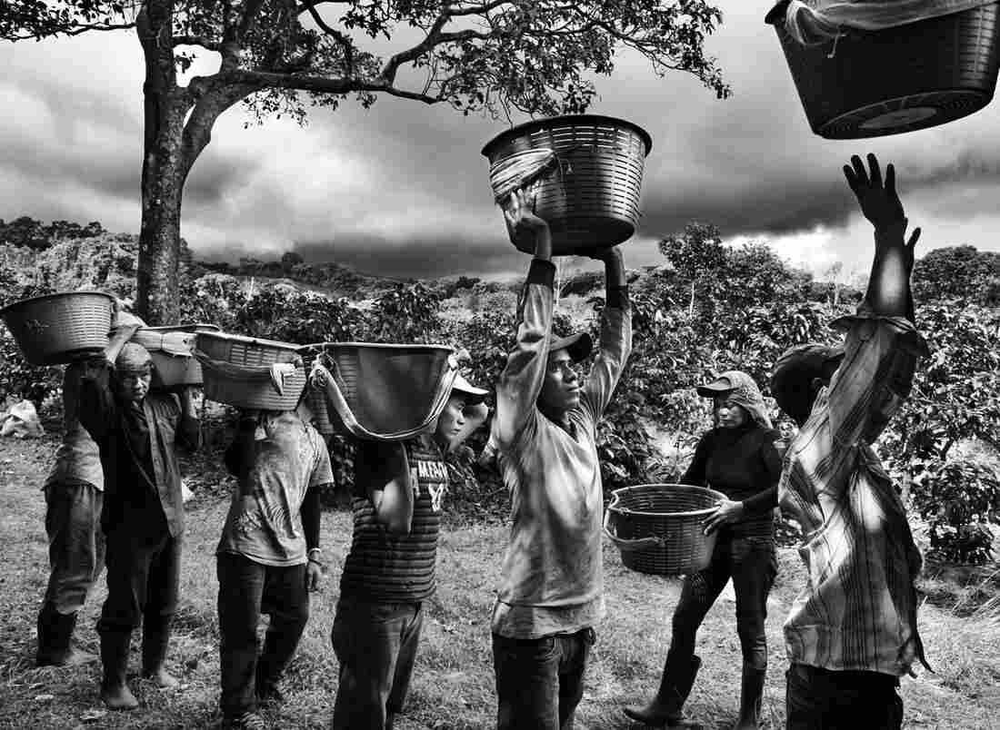 Coffee pickers in on the slope of Poas Volcano in Coast Rica.