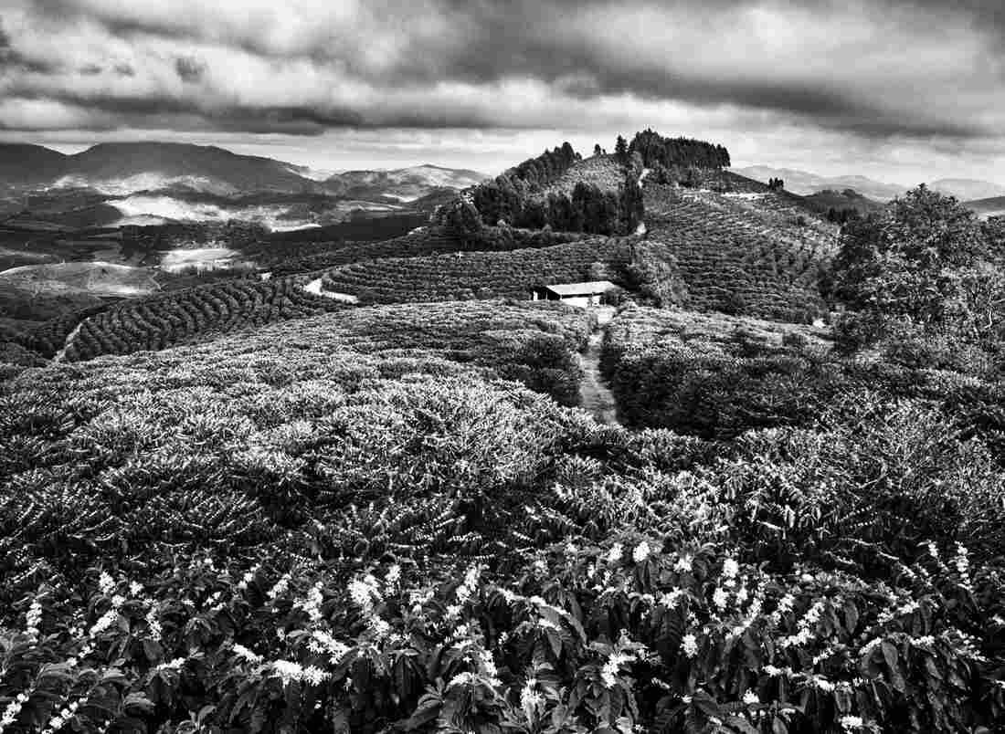 Coffee fields in Brazil during flowering season.