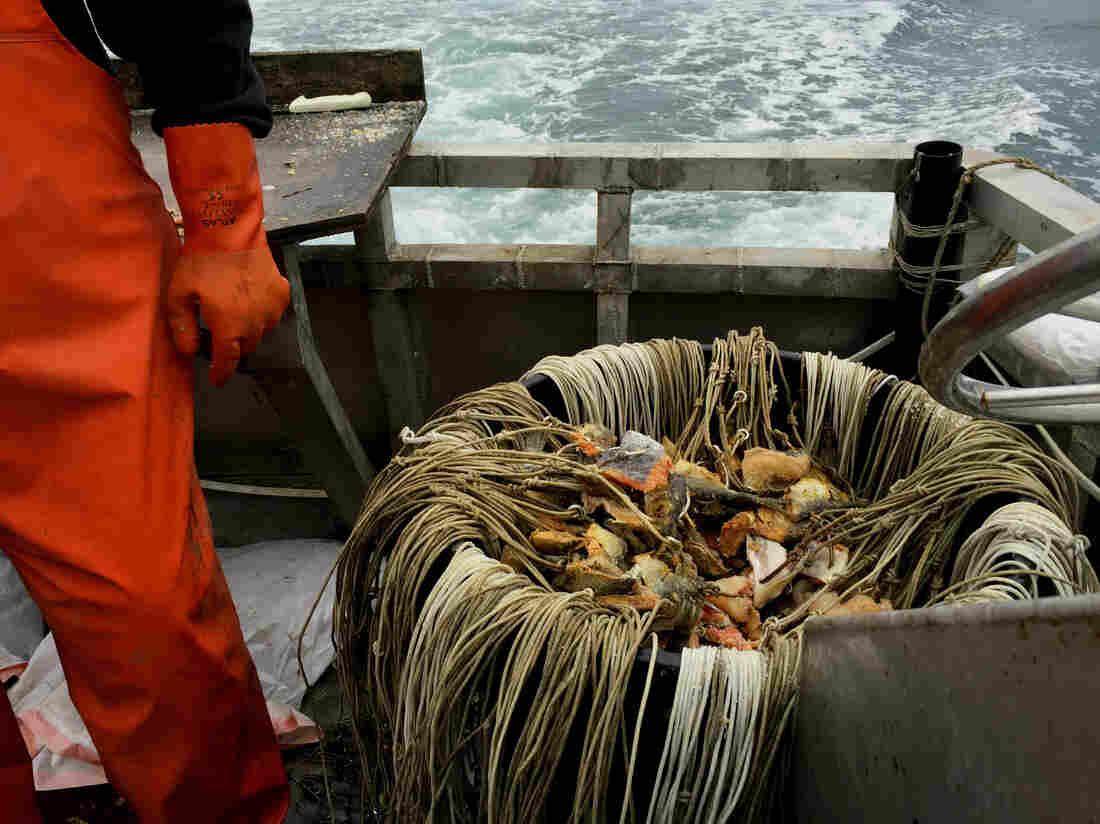Alaskan fisherman David Fry and his baited hooks.