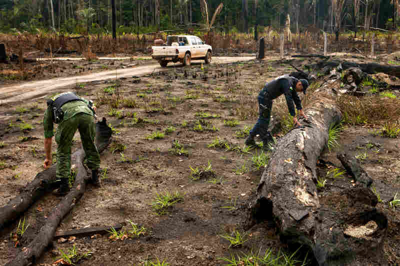 The team checks trees that have been cut down and burned.