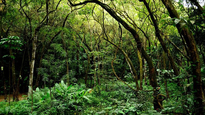 "A vowel sound like ""e"" can still sound clear through the dense vegetation in Hawaii. (Daniel Ramirez/Flickr)"