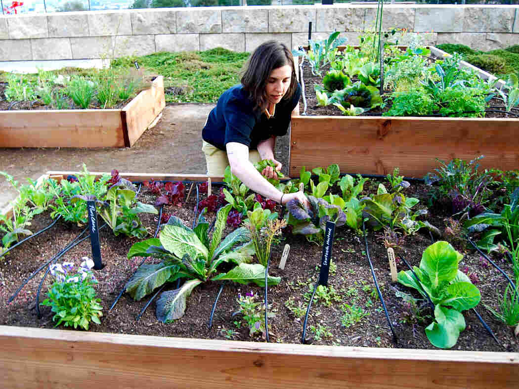 Julia Sherman is the mastermind behind the Salad Garden at the Getty. Here, she pulls up heirloom greens for the salad.
