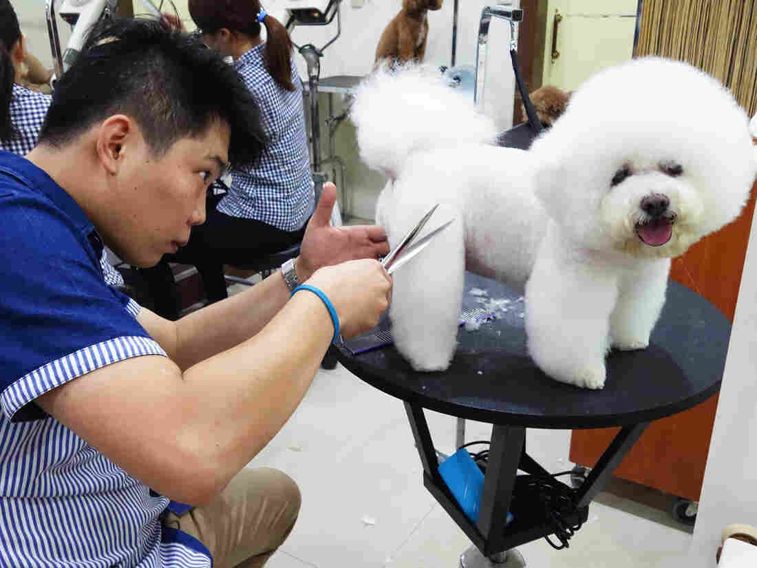 Pet groomer Xiao Mo gets to work shaping Tang Xiong Xiong, one of his many canine clients, into a square.