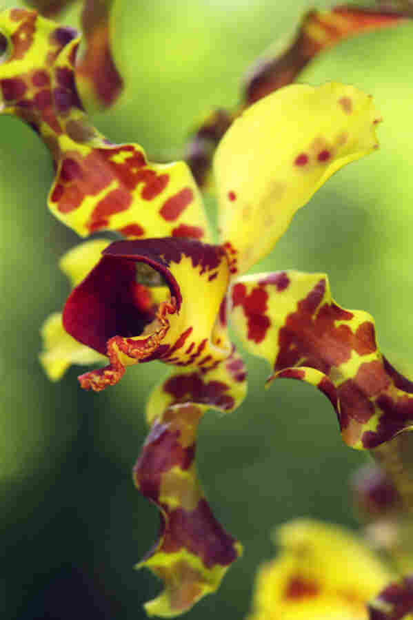 Cowhorn orchids like this one had gone nearly extinct in Fakahatchee Strand Preserve, but thanks to intensive efforts there are now several hundred across the park's 85,000 acres.