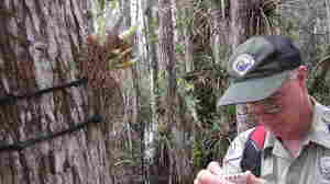 Mike Owen, park biologist at Fakahatchee Strand Preserve in Florida, documents an orchid growing on a cypress tree.