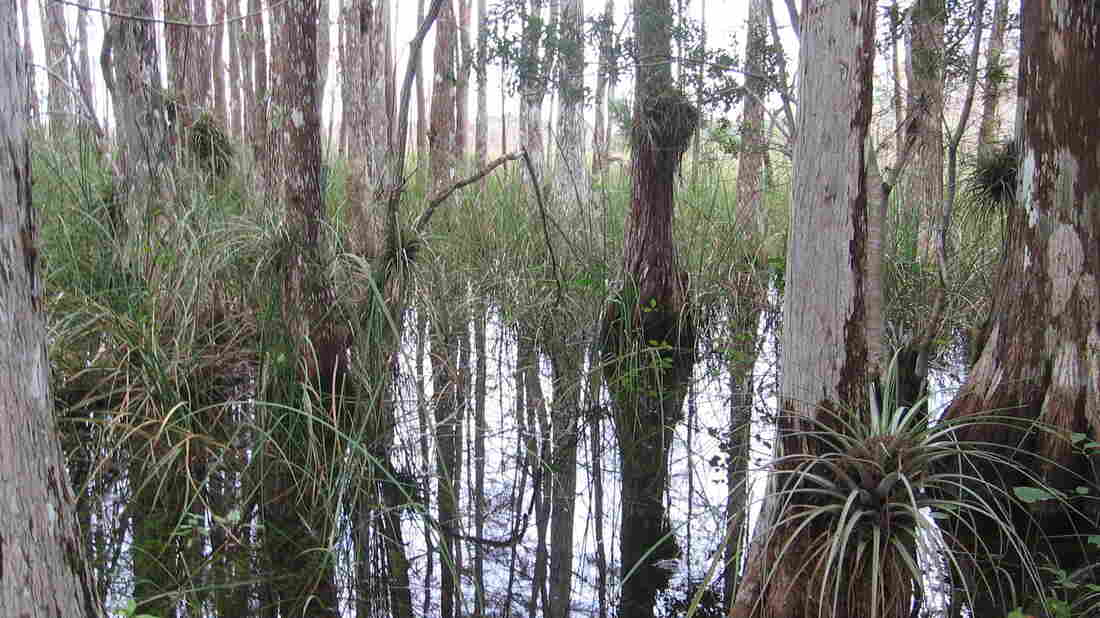 Strand swamps like this one are native only to Florida, and the Fakahatchee Strand Preserve is the largest.