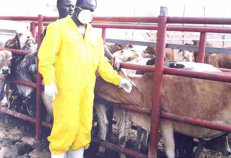 A veterinarian vaccinates cattle against rinderpest.