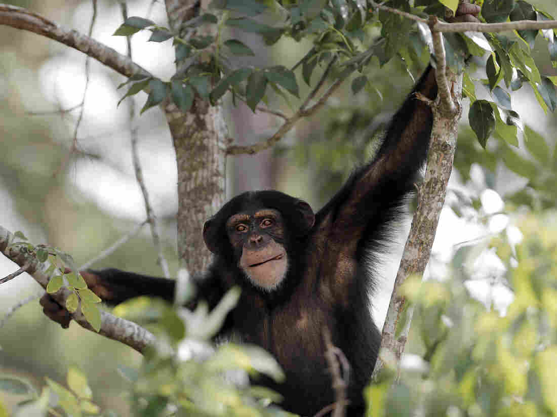 In this Aug. 2014 photo, a chimp sits in a tree at Chimp Haven sanctuary in Keithville, La.