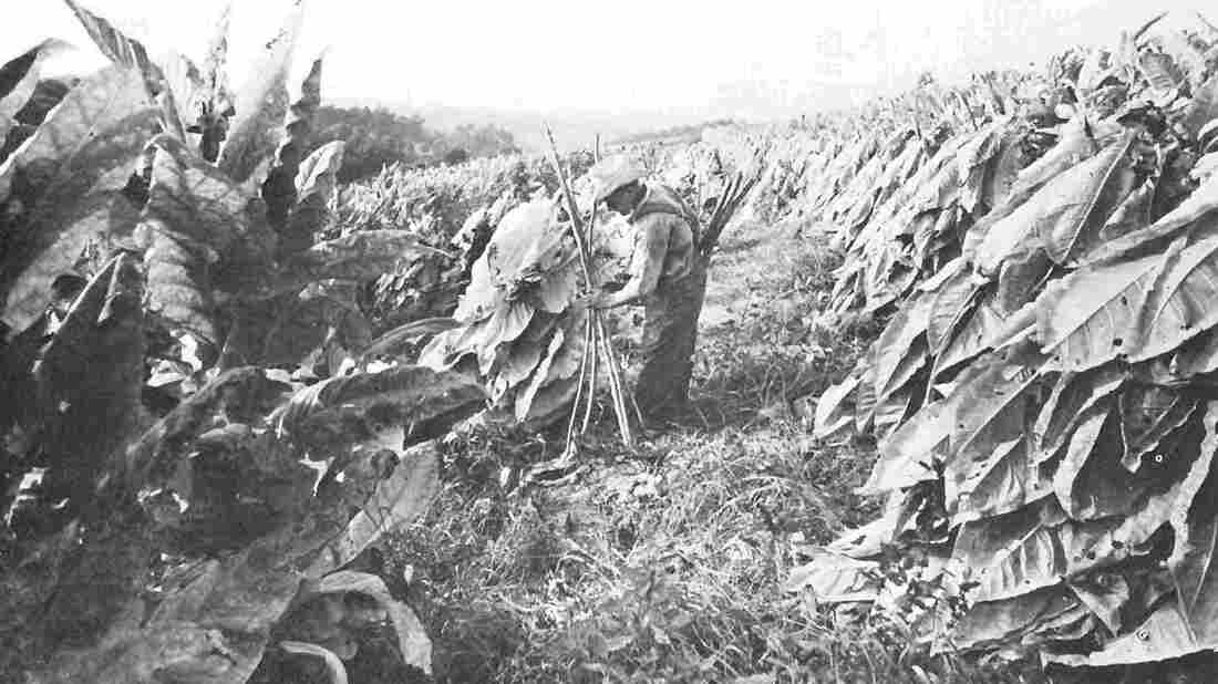 Tracy Hart's late great-uncle Reece Billings harvests tobacco on a North Carolina farm.