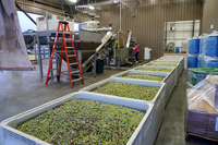 Native American Tribe Bets On Olive Oil
