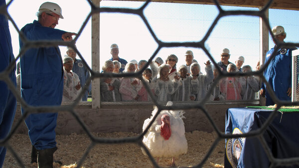 A class of fifth-grade students from Eisenhut Elementary School in Modesto, Calif., cheered for their favorite turkey as Foster Farms staffers picked the prized bird for this year's turkey pardon.