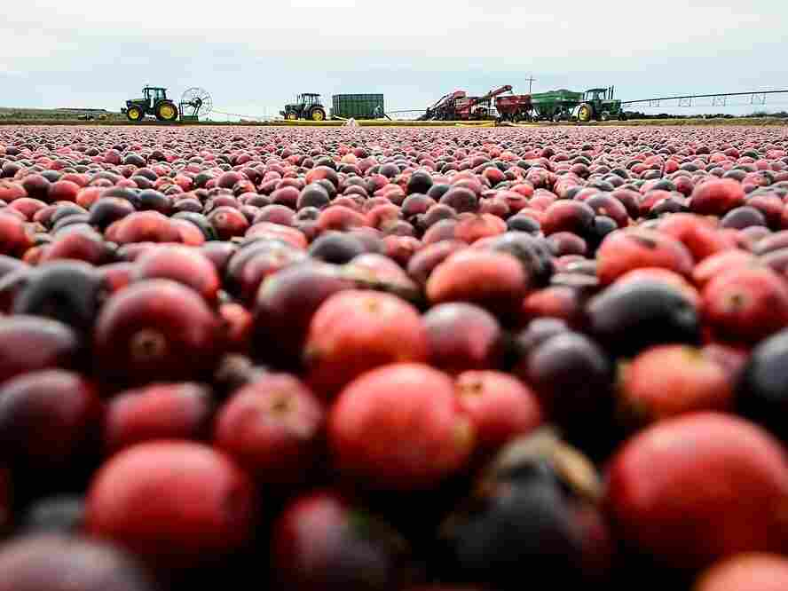 Farmers harvest cranberries born from the University of Wisconsin-Madison's breeding program. The program has created a couple commercial varieties since it's inception.