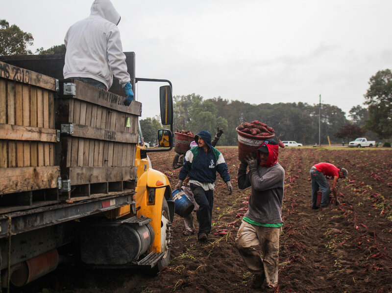 Workers carry buckets of sweet potatoes to a waiting truck.