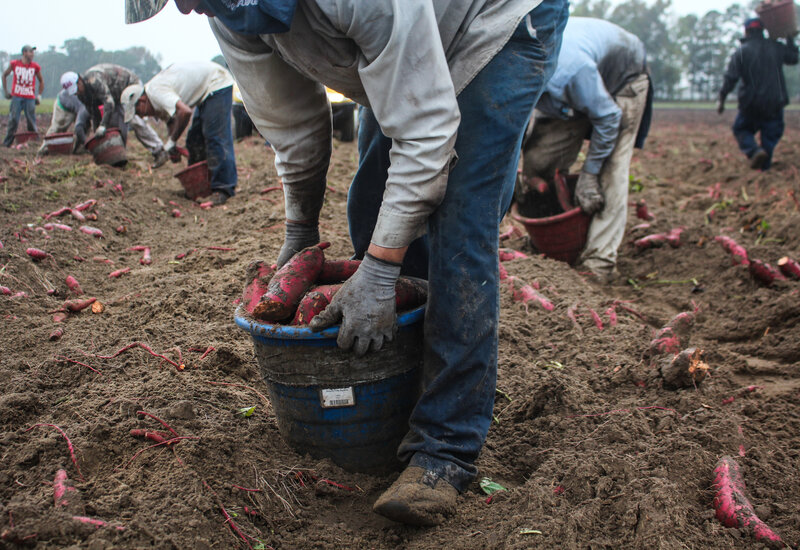 Harvesting sweet potatoes: Workers sort the potatoes in the field, collecting small and large ones in different buckets. Each bucket weighs 30 pounds or so. A worker will shoulder that bucket and dump it into a flatbed truck 400 to 500 times a day. It's a daily load of six or seven tons of sweet potatoes.