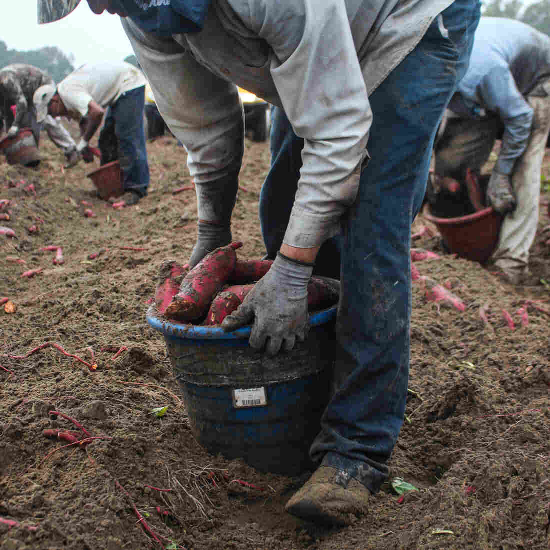 Behind Your Holiday Sweet Potato Dish, Hard Work In The Fields