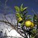 How Long Can Florida's Citrus Industry Survive?
