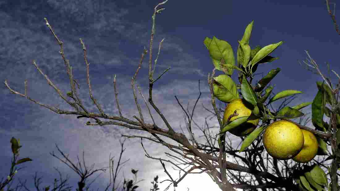 Oranges ripen in a grove in Plant City, Fla. Citrus greening, a disease spread by a tiny insect that ruins oranges and eventually kills the trees, has put the future of the state's $10 billion citrus industry in doubt.