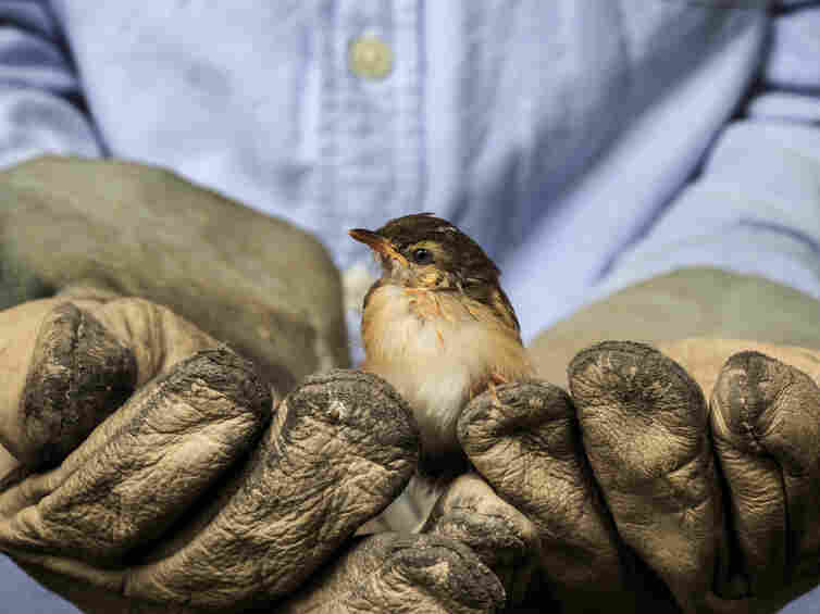 A worker holds a sparrow.