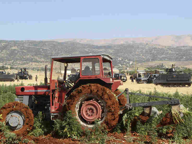 Tractors were used to uproot cannabis plants in Lebanon's Bekaa Valley in July 2012. Farmers forced Lebanese government troops to abandon an operation to destroy their illegal cannabis crop. More recently, production has flourished.