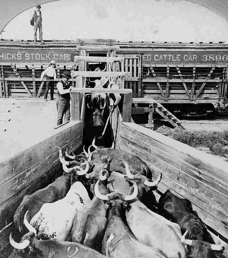 Men load cattle onto a car for shipment to Chicago, circa 1890.