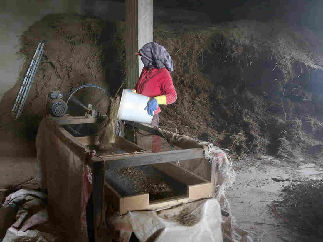 A woman works in a factory processing hashish in Lebanon's Bekaa Valley in December 2014.