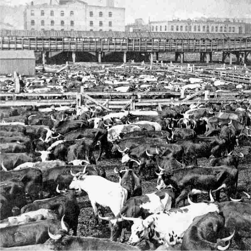 Longhorn cattle in the sales pens at Chicago's Union Stock Yard, circa 1890. Notice the elevated ramp or viaduct in the background, over which livestock were driven to the packinghouses.