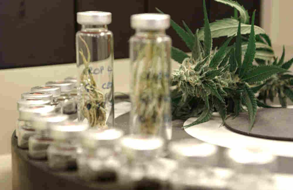 A strain of high-cannabidiol marijuana is to create concentrated cannabidiol used in epilepsy treatments.