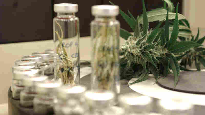 A strain of high-cannabidiol marijuana is used to create extracts used in experimental epilepsy treatments.