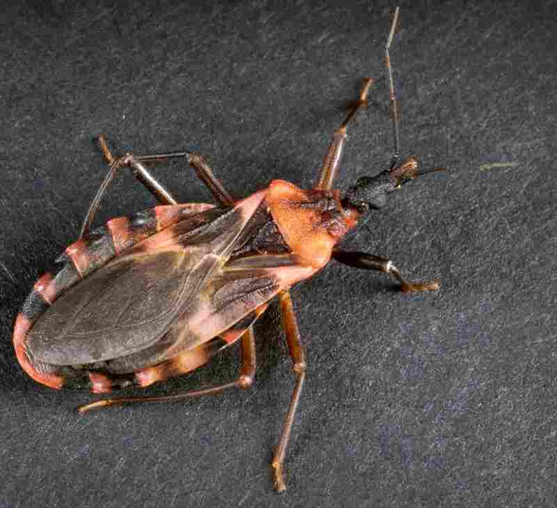 A kissing bug, often known in Latin America as vinchuca, spreads Chagas disease. You can have it and not even know it.