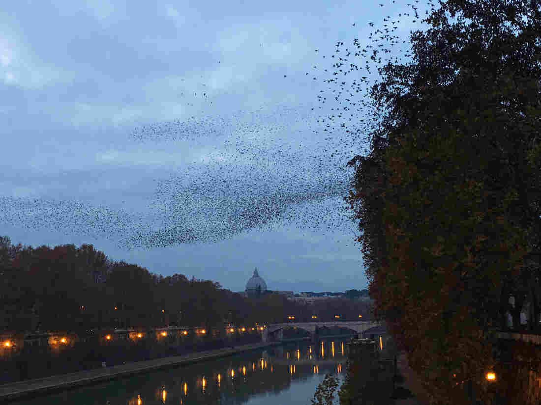 At dusk over the Tiber River, tens of thousands of starlings dance above the trees in an aerial display called a murmuration.