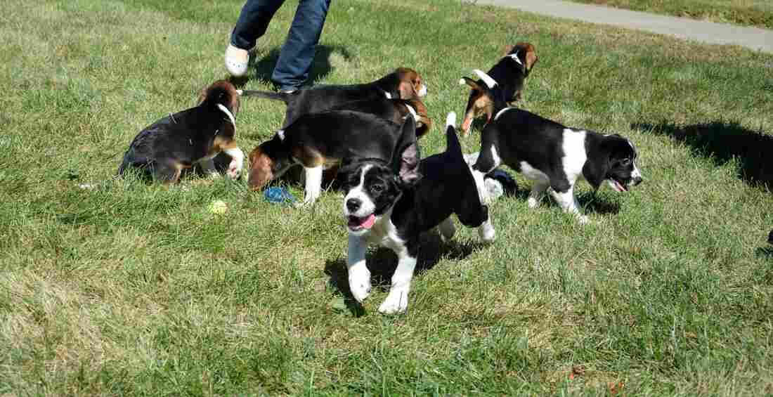 The first litter of puppies born by in vitro fertilization includes two bockers and five beagles, born from two fathers, three mothers and a host mother.