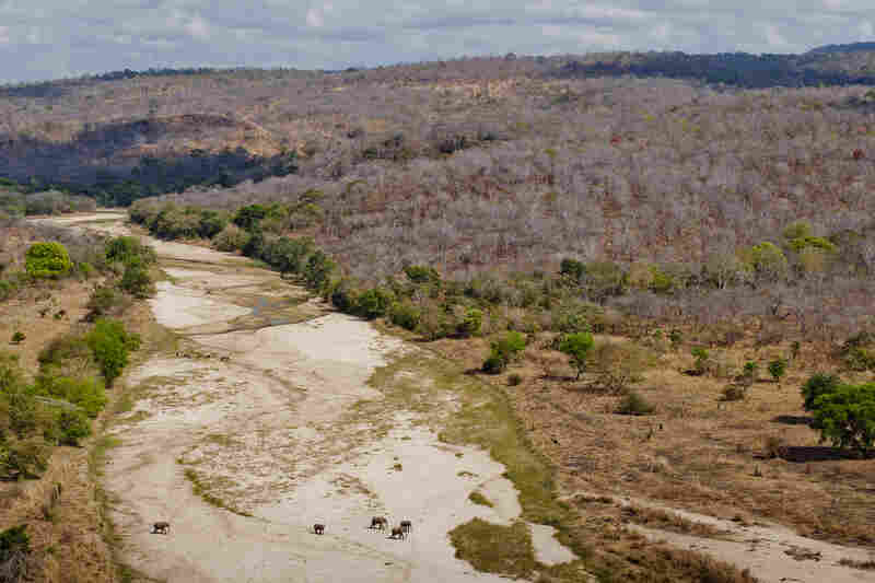 The Lukala River flows through the dry season. In places, the river flows above ground, and elsewhere it travels under the dry sand. Elephants know where to dig for the underground water.