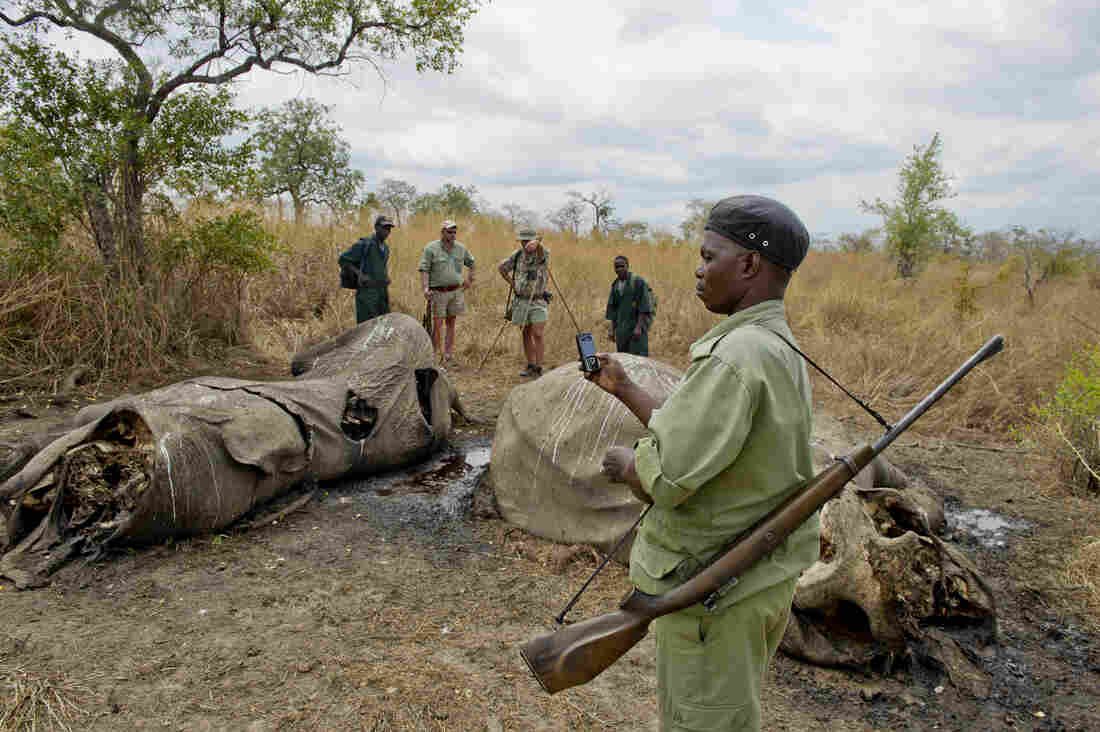Wildlife Division staff and a hunting team document two recently poached elephants.