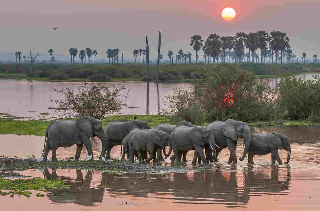 A small breeding herd of elephants moves across a channel leading to the Rufiji River as the sun sets.