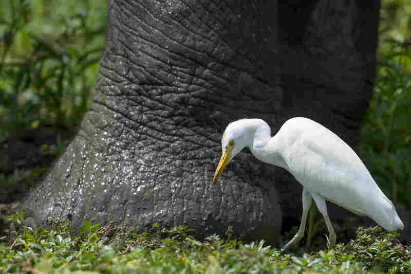 The Western cattle egret is often seen near the legs of elephants and other large mammals, feeding on the insects disturbed by the movements of the bird's much larger partner.