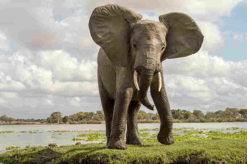 The Selous Game Reserve in Tanzania has seen its elephant population, one of the largest on the continent, go from 110,000 to fewer than 45,000 in the past decade due to poaching.