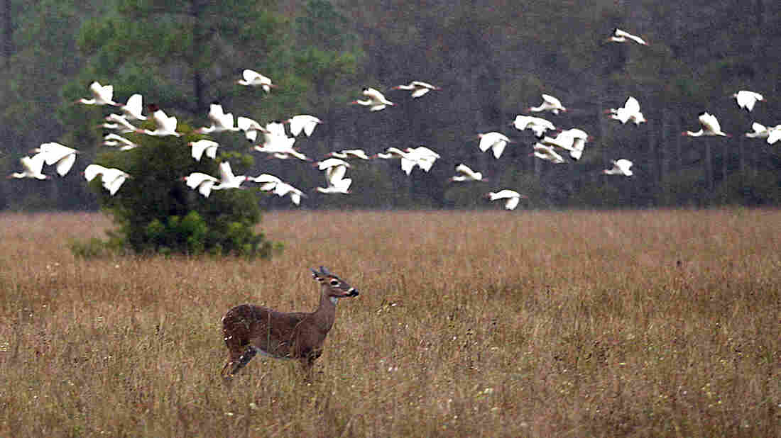 A deer and birds occupy the swampland in Big Cypress Swamp in in November 2011. Environmental groups are worried about the impact a seismic test — and subsequent oil exploration — might have on the animals in Big Cypress Wildlife Preserve.