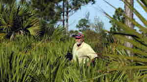 A botanist walks through the Pine Flatwoods of Big Cypress Preserve in December 2012. The preserve is home to several oil wells, but a proposed seismic study — being fought by environmentalists — could dramatically increase exploration.