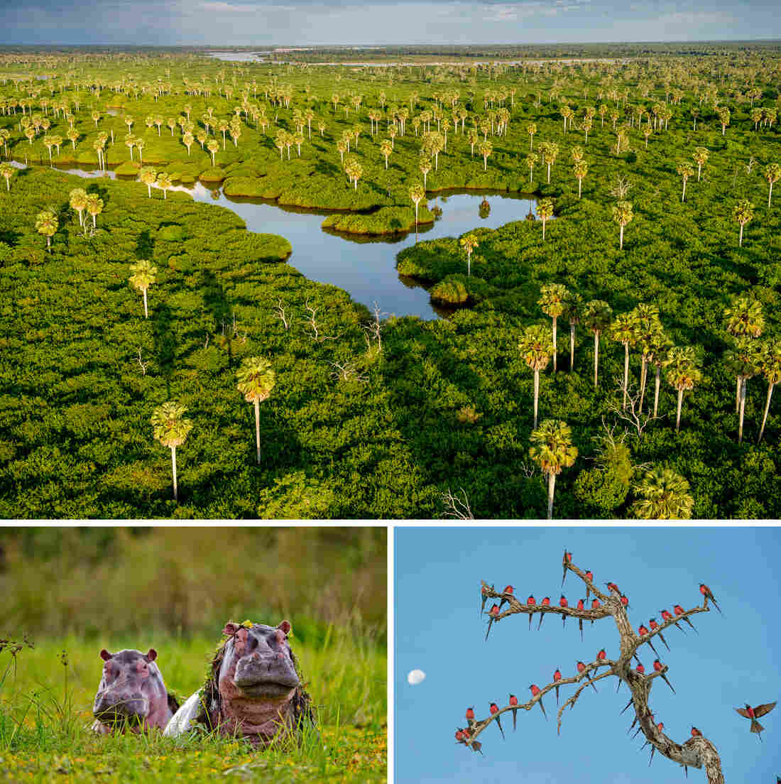 (Top) Stately Borassus palms rise from swamps between the Rufiji River and the northern lakes. (Bottom left) Hippos in the Selous often spend their entire day semi-submerged in pans where the water hyacinth helps to protect their thick but sensitive skin from the sun. (Bottom right) The Northern carmine bee-eater is a beautiful and gregarious seasonal visitor to the Selous.