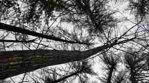 In The Maine Woods, A Towering Giant Could Help Save Chestnuts