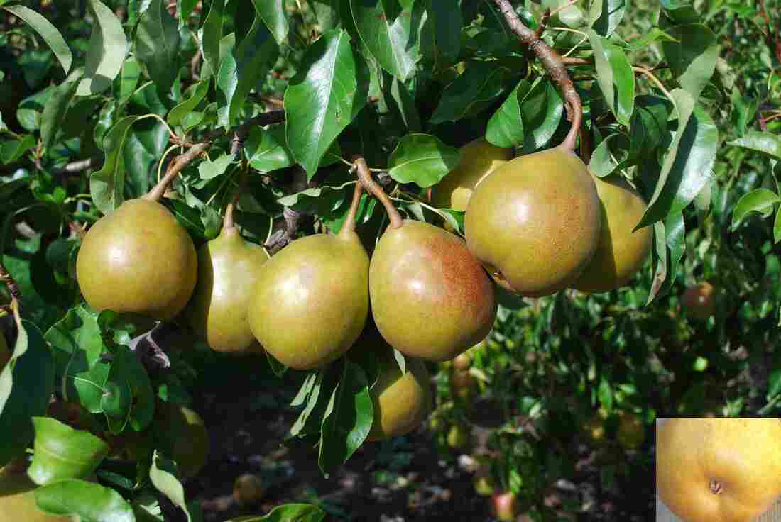 """Author Joan Morgan says Beurré Superfin is one of her favorite pears. It's """"truly delicious: very buttery, juicy, cream to pale yellow flesh, intensely rich with plenty of sugar lemony acidity,"""" she writes in The Book of Pears."""