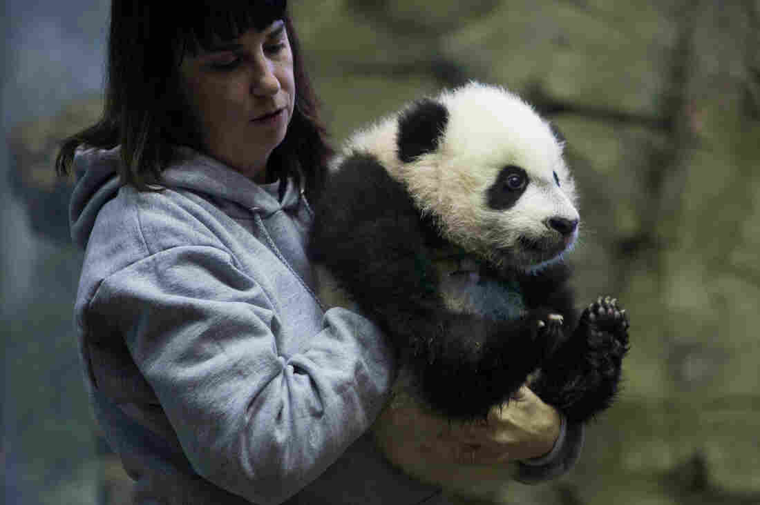 Biologist Laurie Thompson holds Bei Bei at the National Zoo on Wednesday.