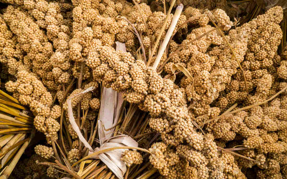 """Millet isn't just one grain but, rather, a ragbag group of small-seeded grasses. Hardy, gluten-free and nutritious, millet has become an """"it"""" grain in recent years."""