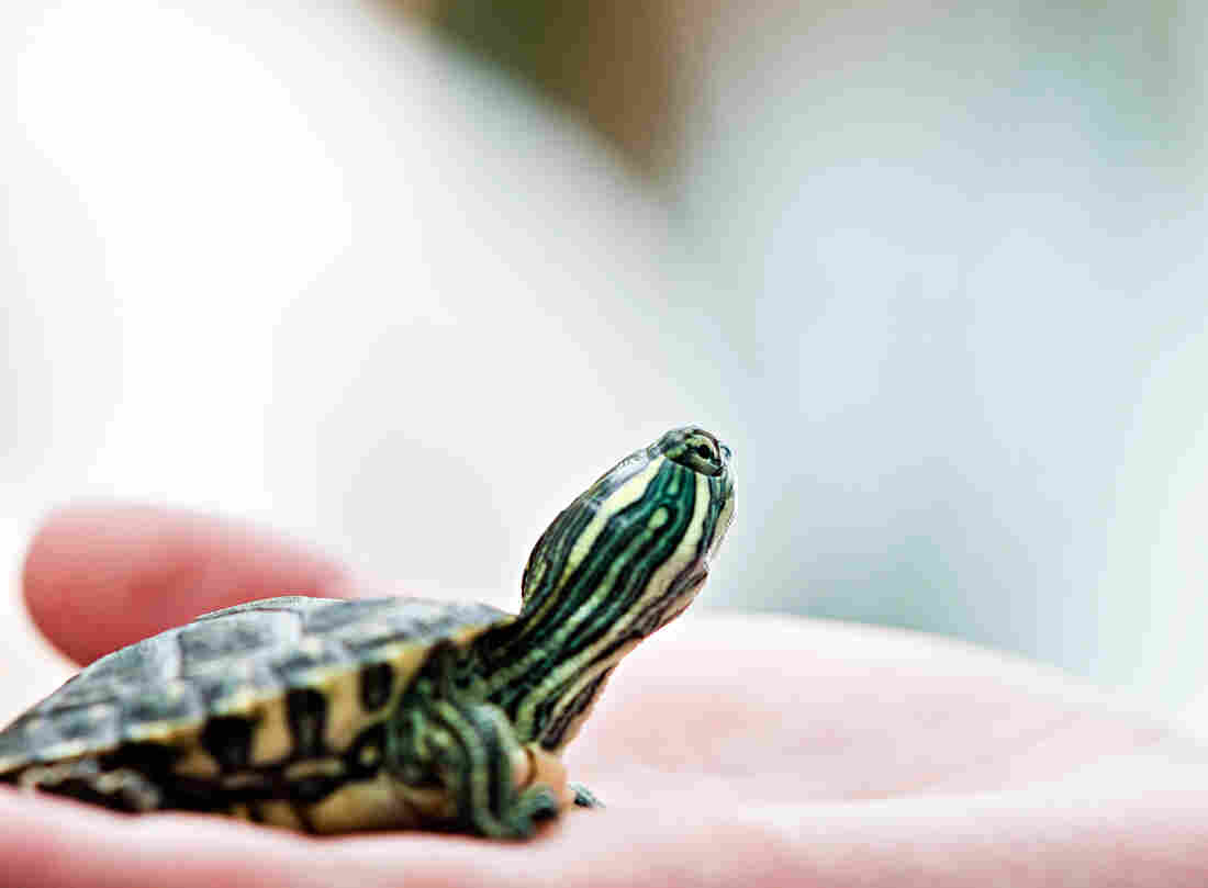 It's illegal to sell or distribute pet turtles with shells less than 4 inches long because they spread salmonella.