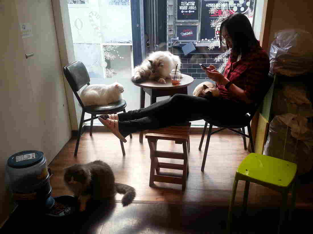 Reporting from a Seoul cat cafe, one of the many themed cafes in Japan and Korea.