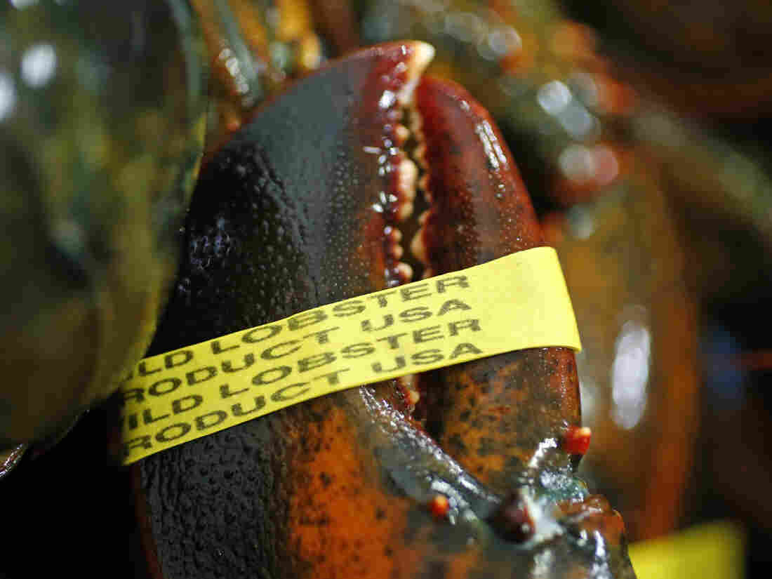 Unseasonable warm weather has made for a longer lobstering season for fishermen in Maine.