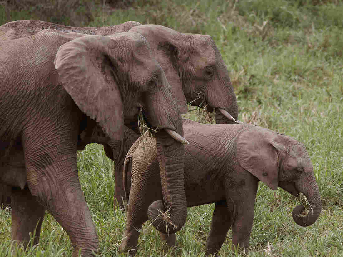 Elephants eat grass at the Hluhluwe game reserve on the outskirts of Hluhluwe, South Africa.